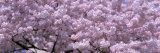 Cherry Blossoms, Washington D.C., USA Fotoprint van Panoramic Images,