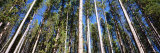 Pine Trees in a Forest, Lodgepole Pines, Montana, USA Photographic Print by  Panoramic Images