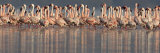 Lesser Flamingos in Water Photographic Print by Panoramic Images 