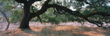 Oak Tree on a Field, Sonoma County, California, USA Photographic Print by Panoramic Images 