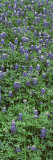 Plants, Bluebonnets, Austin, Texas, USA Photographic Print by  Panoramic Images