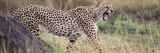 Cheetah Walking in a Field Fotografisk tryk af Panoramic Images