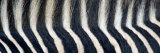 Greveys Zebra Stripes and Mane Photographic Print by Panoramic Images 