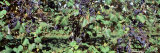 Grapes in a Vineyard, Fennville, Michigan, USA Photographic Print by  Panoramic Images