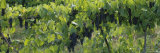 Bunch of Grapes in a Vineyard, Finger Lakes, New York State, USA Photographic Print by  Panoramic Images