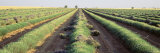 Lavender Field, Plateau de Valensole, Cote de Azur, France Photographic Print by  Panoramic Images