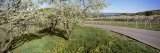 Blooming Cherry Trees in a Vineyard, Traverse City, Michigan, USA Photographic Print by  Panoramic Images