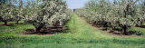 Apple Trees in an Orchard, Kent County, Michigan, USA Photographic Print by Panoramic Images