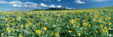 Flowers Growing in a Field, Rocky Mountains, Montana, USA Photographic Print by Panoramic Images