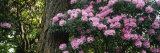 Rhododendron Flowers on a Plant, Oregon, USA Photographic Print by Panoramic Images
