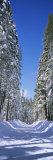 Panoramic Images - Trees on Both Sides of a Snow Covered Road, Crane Flat, Yosemite National Park, California, USA - Fotografik Baskı