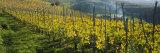 Vineyards, Peidmont, Italy Fotografisk trykk av Panoramic Images,