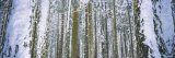 Snow Covered Tree Trunks in a Forest, Yosemite National Park, California, USA Photographic Print by  Panoramic Images