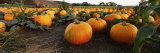 Pumpkins in a Field, Half Moon Bay, California, USA Fotografiskt tryck av Panoramic Images,