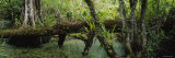 Trees in the Forest, Corkscrew Swamp Sanctuary, Naples, Florida, USA Photographic Print by  Panoramic Images