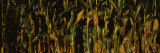 Corn Crop, Wisconsin, USA Photographic Print by  Panoramic Images