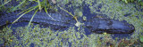Alligator Swimming in a River, Florida, USA Photographic Print by Panoramic Images