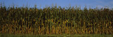 Corn Crop in a Field, Wisconsin, USA Photographic Print by  Panoramic Images
