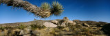 Branch of a Joshua Tree, Mojave Desert, Joshua Tree National Monument, California, USA Photographic Print by  Panoramic Images