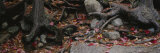 Dry Leaves on the Roots of Trees, White Mountains, New Hampshire, USA Photographic Print by  Panoramic Images