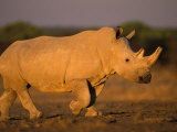 White Rhinoceros Walking, Etosha National Park, Namibia Prints by Tony Heald