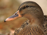 Female Mallard Head Close-Up, USA Premium Photographic Print by Lawrence Michael