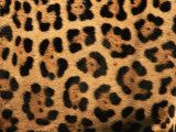 Close-Up of Jaguar Cat Coat, Poster by Staffan Widstrand