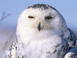 Snowy Owl, Female, Scotland, UK Photographic Print by Niall Benvie