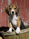 Beagle Dog Puppy Print by Lynn M. Stone