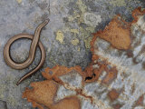 Female Slow Worm Near Rusting Iron, Scotland Photographic PrintNiall Benvie