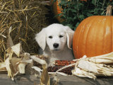 Golden Retriever Puppy (Canis Familiaris) Portrait with Pumpkin Print by Lynn M. Stone