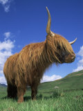 Domesticated Highland Cow, Aberfoyle, Argyll, Scotland, UK Print by Niall Benvie