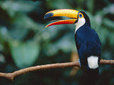 Toco Toucan in Tree, Igazu National Park, Brazil, Iguassu Posters by Staffan Widstrand