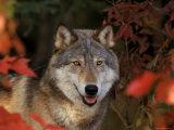 Grey Wolf Portrait, Minnesota, USA Plakater av Lynn M. Stone