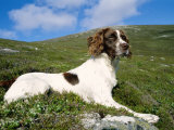 Springer Spaniel, Scotland, UK Photographic Print by Pete Cairns