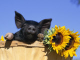 Piglet (Mixed Breed) in Barrel with Sunflower Photographic Print by Lynn M. Stone