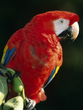 Scarlet Macaw Prints by Niall Benvie