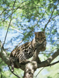 Ocelot in Tree Prints by Pete Oxford