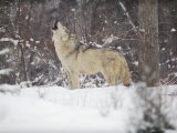 Portrait of Grey Wolf Howling in the Snow Photographic Print by Lynn M. Stone