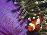 False Clown Anemonefish in Anemone Tentacles, Indo Pacific Fotografisk tryk af Jurgen Freund