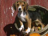 Beagle Dog Puppy Posters by Lynn M. Stone