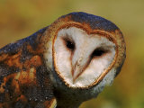Barn Owl Portrait Photographic Print by Lynn M. Stone