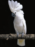 White or Umbrella Cockatoo Photographic Print by Lynn M. Stone