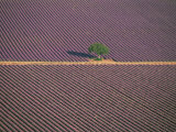 Aerial View of Tree in Lavender Field, Baronnies, Provence, France Photographic Print by Jean E. Roche