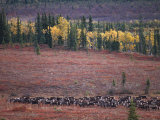 Reindeer Migration Across Tundra, Kobuk Valley National Park, Alaska, USA, North America Premium Photographic Print by Staffan Widstrand