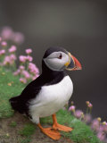 Puffin Portrait, Great Saltee Is, Ireland Photographic Print by Pete Oxford