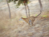 Bengal Tiger Running Through Grass, Bandhavgarh National Park India Posters by E.a. Kuttapan