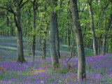 Bluebells Flowering in Oak Wood, Scotland, Peduncluate Oaks (Quercus Robur) Posters by Niall Benvie