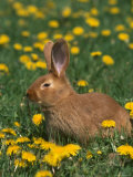 New Zealand Breed of Domestic Rabbit, Amongst Dandelions Photographic Print by Lynn M. Stone