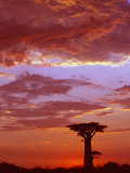 Baobab Silhouette at Sunset, Morondava, Madagascar Photographic Print by Pete Oxford